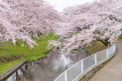 Härliga Cherry Blossom Sakura på Tachikawa parkerar i Tokyo Japan Royaltyfri Foto