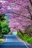 Härliga Cherry Road i den Wuling lantgården Taiwan royaltyfria bilder
