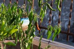 Härliga chiles på en växt, paprika Arkivbilder
