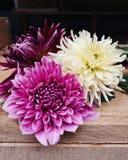 Härliga dahliablommor i blom arkivbild