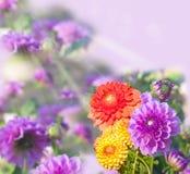 Härliga dahlior, collage Royaltyfri Fotografi