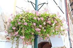 Härliga dekorativa rosa färgblommor Royaltyfri Bild