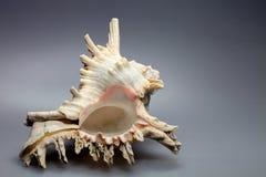 Härliga dekorativa torra havskammusslor Royaltyfri Bild