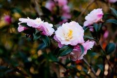 Härliga delikata rosa blommor av vernaen för Theaceaekamelia x royaltyfri foto