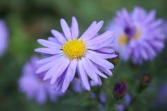 Härliga delikata små lilor slösar att växa för blomma i trädgården royaltyfria foton