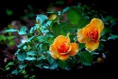 Härliga dvärg- orange rosor i trädgård Royaltyfri Bild