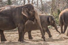 Härliga elefanter på zoo i Berlin fotografering för bildbyråer