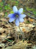 härliga Europa blommor kan viciifoliaen för springtime för salviaen för naturonobrychispratensisen Arkivfoto