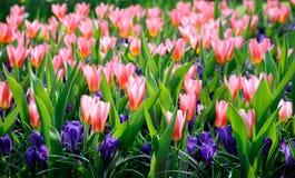 härliga Europa blommor kan viciifoliaen för springtime för salviaen för naturonobrychispratensisen Royaltyfri Bild