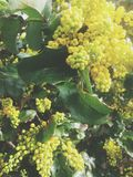 härliga Europa blommor kan viciifoliaen för springtime för salviaen för naturonobrychispratensisen Arkivbild