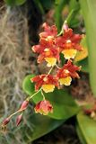 Härliga exotiska blommor som hänger i tropisk trädgård Fotografering för Bildbyråer