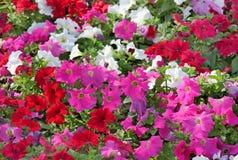 härliga färger deserterar den olika petuniaen Arkivfoto