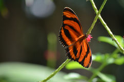 Härliga färgmodeller till en ek Tiger Butterfly Arkivfoto