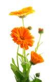 härliga färgrika blommor Royaltyfria Bilder