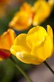 Härliga färgrika gula röda tulpanblommor Arkivfoto