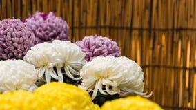 Härliga färgrika krysantemum i en stängd japan arbeta i trädgården Närbild Royaltyfri Fotografi