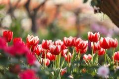 Härliga färgrika tulpan i trädgård Royaltyfri Bild