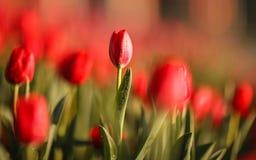 Härliga färgrika tulpan i trädgård Royaltyfria Foton