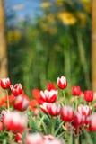 Härliga färgrika tulpan i trädgård Royaltyfri Fotografi