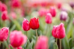 Härliga färgrika tulpan i trädgård Arkivfoto
