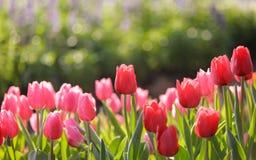 Härliga färgrika tulpan i trädgård Arkivbild