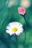Härliga färgrika tusenskönor fotografering för bildbyråer