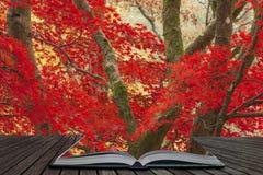 Härliga färgrika vibrerande röda och gula träd för japansk lönn i den på engelska detaljen för landskap för Autumn Fall skogskogs royaltyfri fotografi