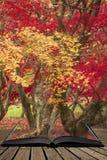 Härliga färgrika vibrerande röda och gula träd för japansk lönn i den på engelska detaljen för landskap för Autumn Fall skogskogs royaltyfria foton