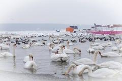 Härliga fåglar i den djupfrysta flodDonauen Royaltyfri Fotografi