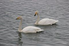 Härliga fåglar i tidig vår på stranden Royaltyfria Bilder