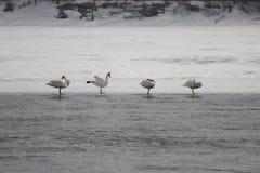 Härliga fåglar i tidig vår på stranden Royaltyfria Foton