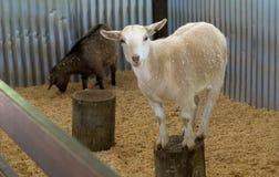 Härliga får på den Brisbane zoo, Australien Royaltyfria Foton