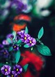 Härliga felika drömlika magiska purpurfärgade röda blommor med mörker - gröna blåa sidor, oskarp bakgrund Arkivbild