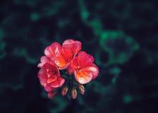 Härliga felika drömlika magiska rosa röda blommor med mörker - grön tjänstledighet Royaltyfri Bild