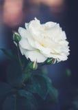 Härliga felika drömlika magiska vita beigea krämiga rosblommor på urblekt oskarp gräsplan slösar bakgrund Fotografering för Bildbyråer