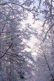 Härliga filialer som täckas av insnöat mirakel, övervintrar skogen Arkivbild