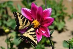 härliga fjärilar Arkivbild