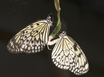 härliga fjärilar parar ricepaper Royaltyfri Bild