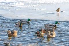 Härliga flöten för mandarinand på sjön eller floden Omgivet av andra änder royaltyfria bilder