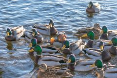 Härliga flöten för mandarinand på sjön eller floden Omgivet av många andra änder royaltyfria bilder