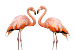 härliga flamingos älskar två royaltyfri fotografi
