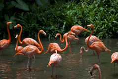 Flamingos den Jurong fågeln parkerar, Singapore Royaltyfria Bilder