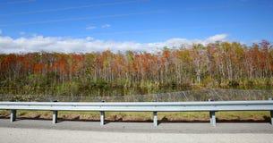 Härliga Florida lönnträd på I-75, också som är bekant som alligatorgränden Arkivbild