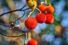 Härliga frukter av jordgubbeträdet eller arbutusunedoträdet, frukterna är gula och röda med grov yttersida royaltyfria foton