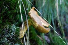 Härliga giftiga champinjoner och ätliga champinjoner i skogen Royaltyfri Fotografi