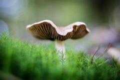 Härliga giftiga champinjoner och ätliga champinjoner i skogen Arkivfoto