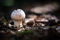 Härliga giftiga champinjoner och ätliga champinjoner i skogen Arkivbild