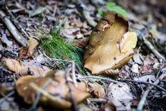 Härliga giftiga champinjoner och ätliga champinjoner i skogen Royaltyfria Bilder