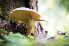 Härliga giftiga champinjoner och ätliga champinjoner i skogen Royaltyfri Foto