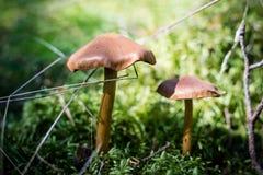 Härliga giftiga champinjoner och ätliga champinjoner i skogen Arkivbilder